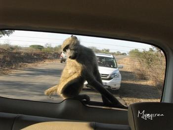 5 babouin gourmand