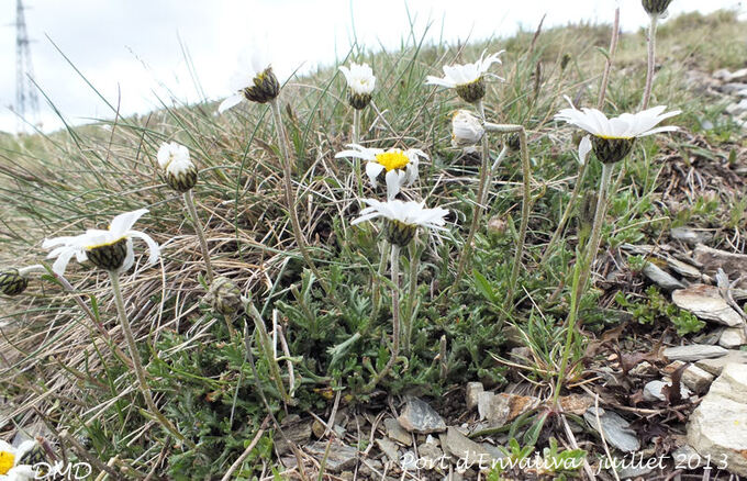 Leucanthemopsis alpina - leucanthème des Alpes
