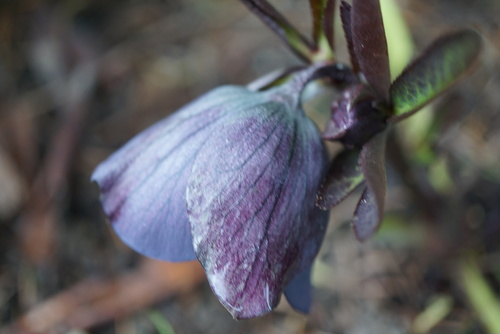 helleborus black beauty