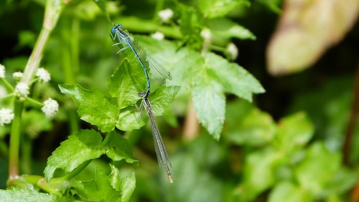 La reproduction de la libellule