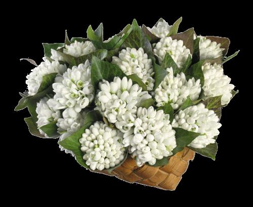 Virágok (Hóvirág)