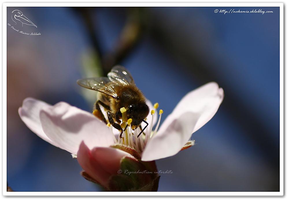 Apis mellifera femelle sur fleurs d'Amandiers - Abeille mellifère