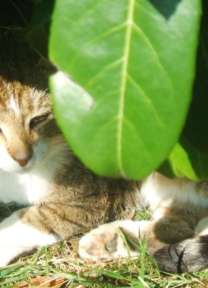 Chat de Gouttière à mes parents surnommé Mistigri - Disparu