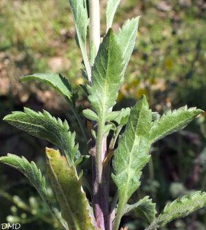 Lepidium virginicum  -  passerage de Virginie