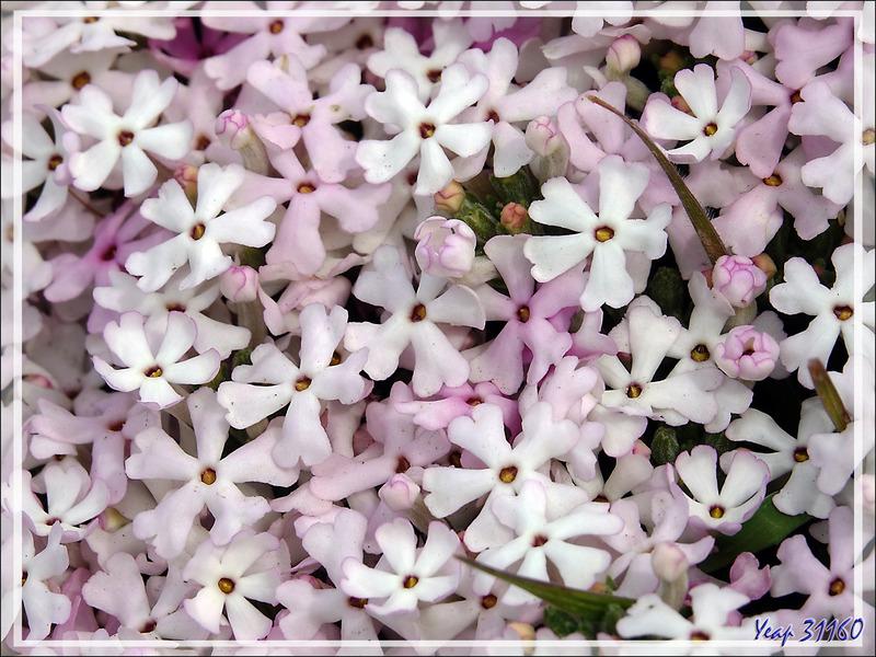 Fleurs blanches en coussin Verveine de Buenos Aires (Junellia minutifolia ou tridactylites) - Autour du Glaciarium - El Calafate - Argentine