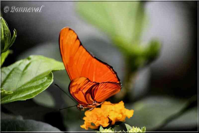 Papillons tropicaux Dryas julia Nymphalidae