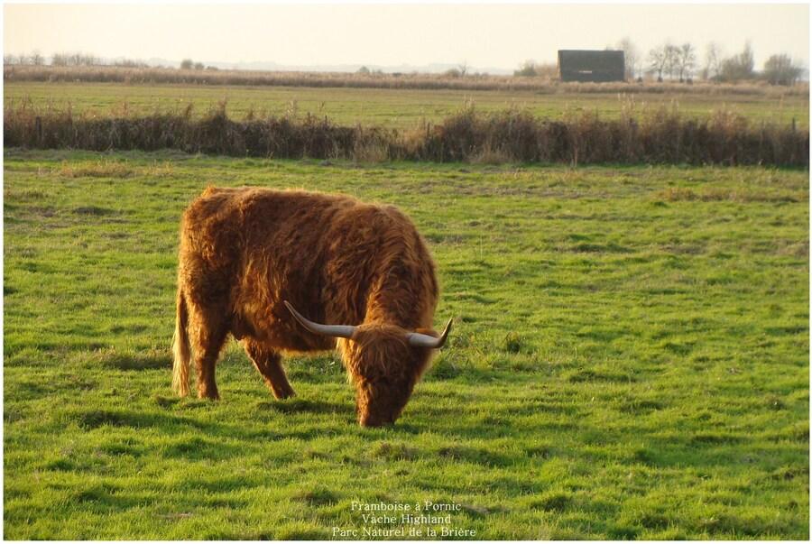 Vaches Highland ou Highland Cows en Brière - 44 -