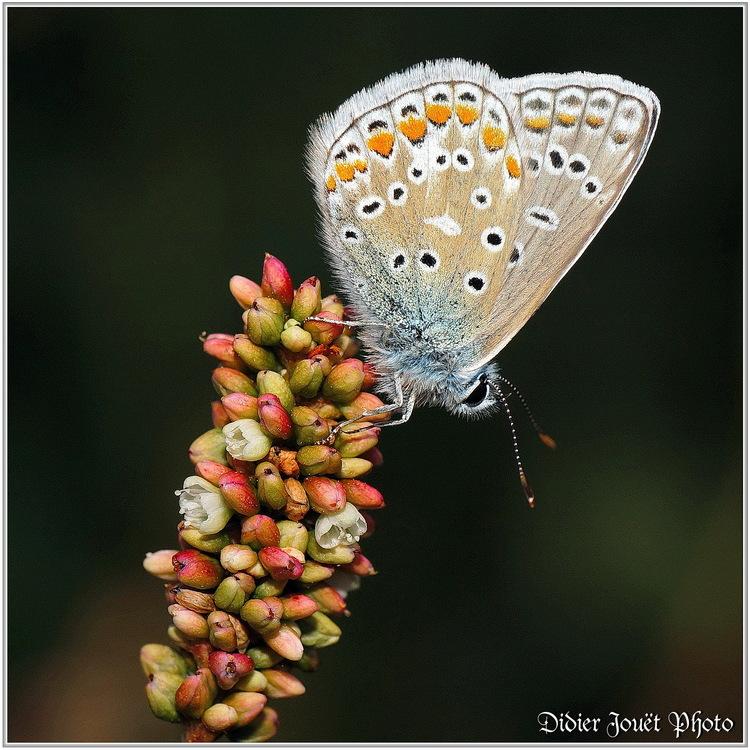 Azuré Commun / Polyommatus icarus