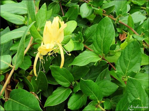 Photo de Chèvrefeuille arbustif (fleur-flore)