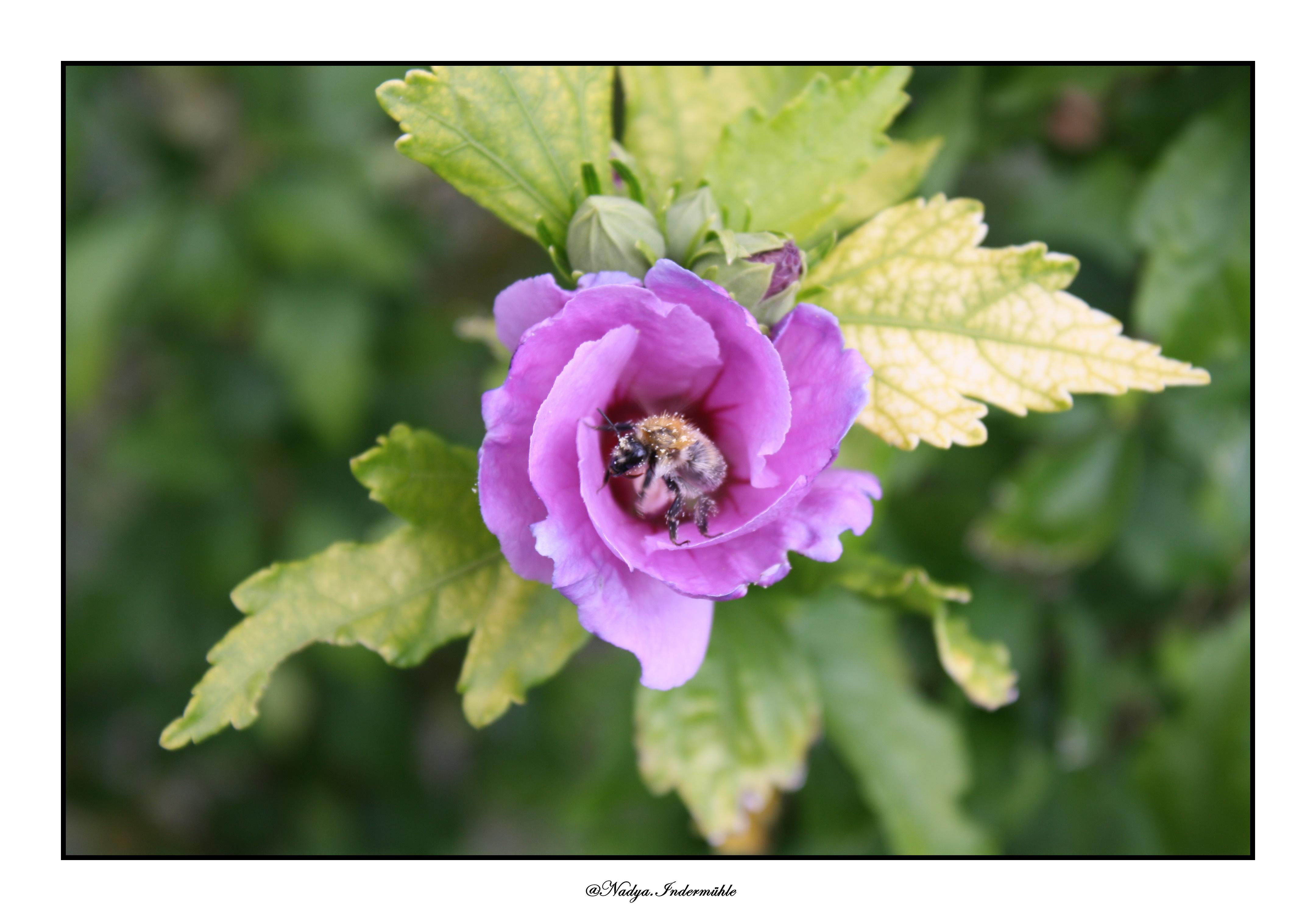 Hibiscus - La photo, ma passion!