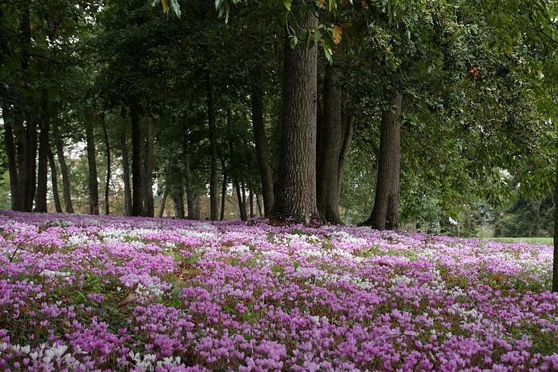 automne rose cyclamen