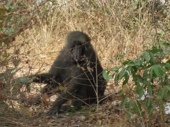 Bénin Parc de la Pendjari singe