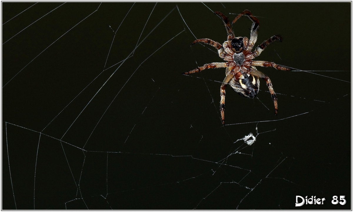 Araignée (1)