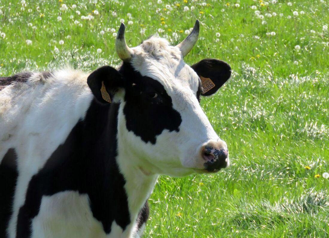 des vaches curieuses !