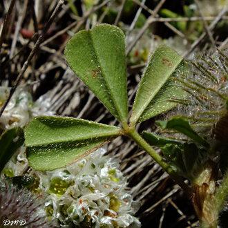 Trifolium cherleri  -  trèfle de Cherler
