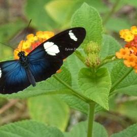 Heliconius Doris - Guyane