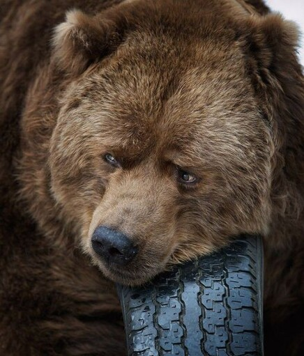 « Ne fais pas comme l'ours ! »