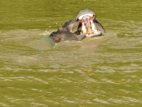 desjeux d'eau impressionnants pour ces hippos
