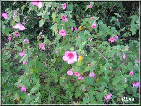 fleurs__roses