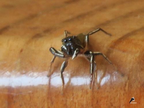Héliophanus cupreus mâle