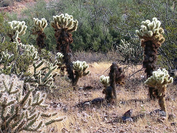 Arizona cactus Jumping Chollas