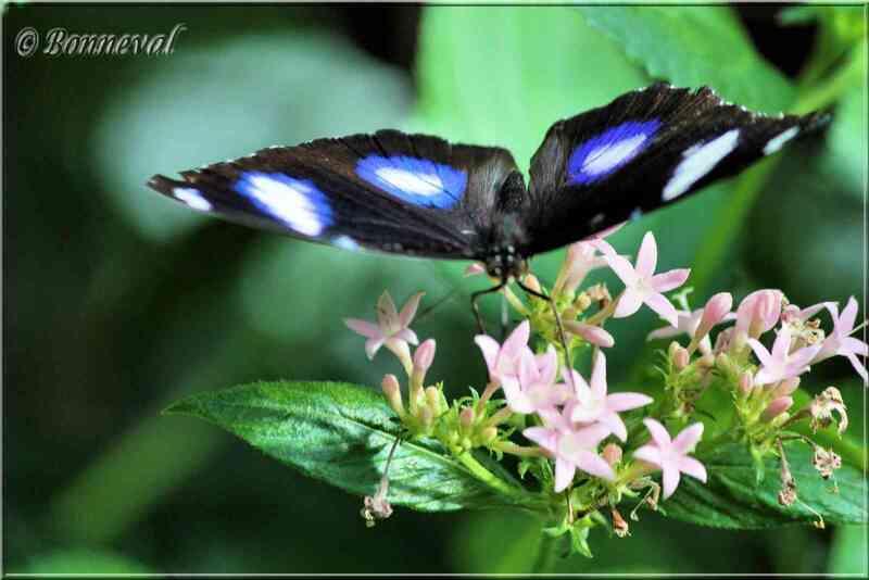 Papillons tropicaux Hypolimnas bolina mâle