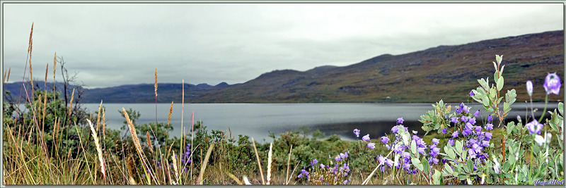 Panoramas sur le lac aux campanules et aux linaigrettes - Ferguson Lake ou Tasersuatsiaq  - Kangerlussuaq - Groenland