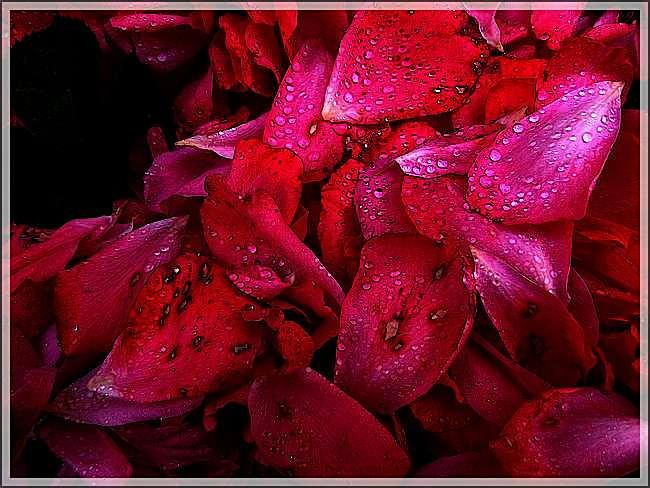 Le rose, le rouge et le mauve