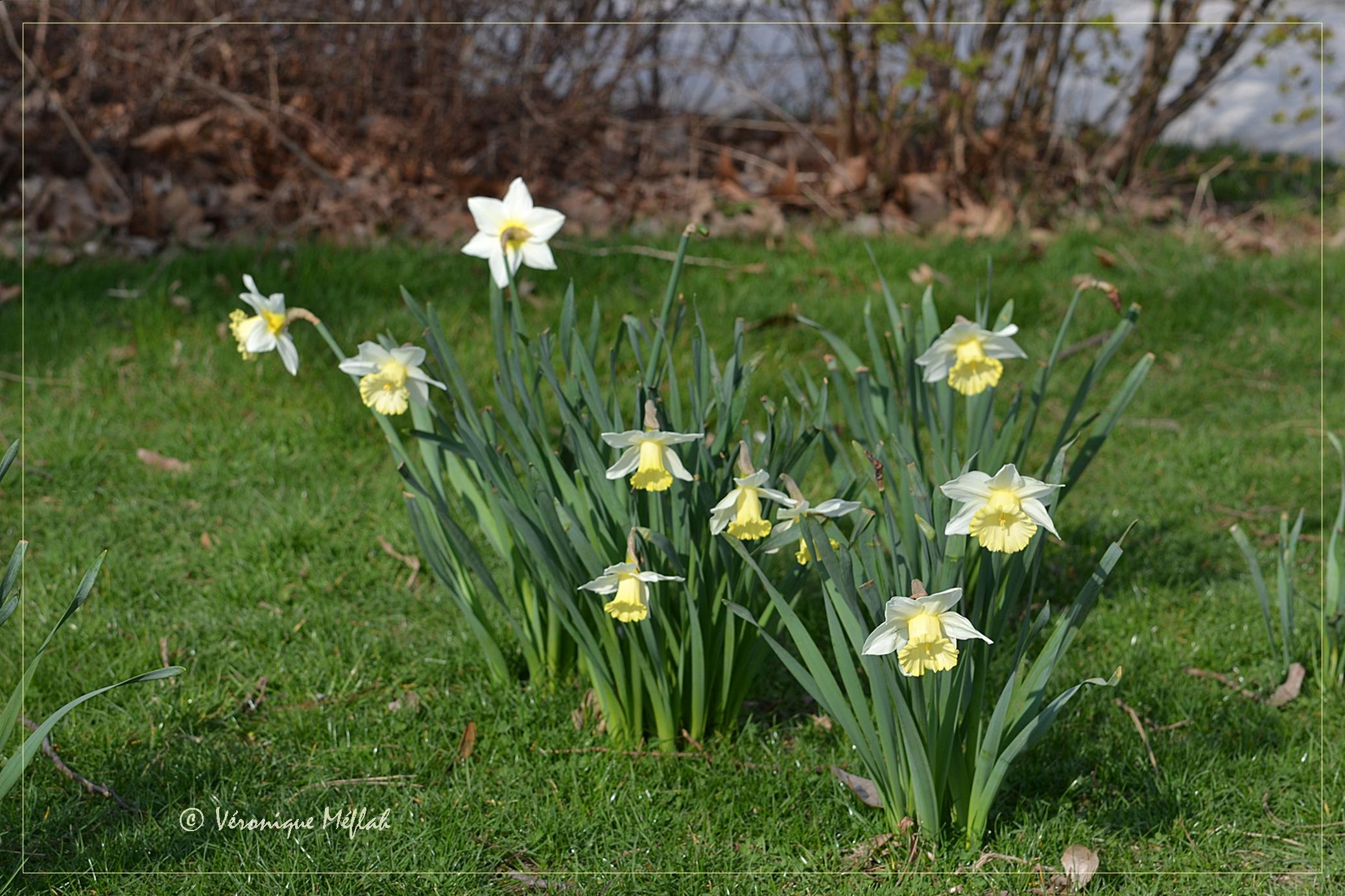Es tu narcisse ou jonquille une fleur de paris - Jonquille sauvage des bois ...
