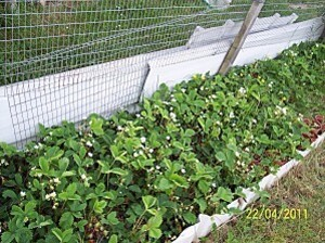 Plante-2011-IV-22---fraisiers-4081.JPG