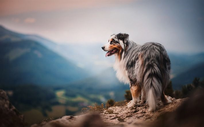 thumb2-australian-shepherd-mountains-aussie-pets-dogs.jpg
