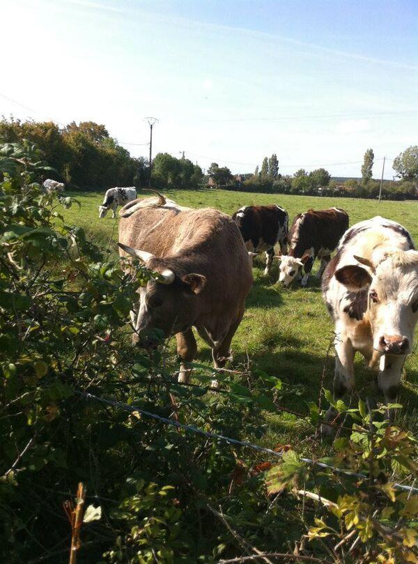 Au pays des bovins