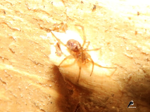 Steatoda triangulosa, la Malmignatte des maisons (10)