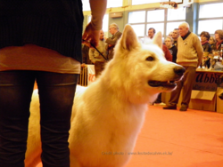 Exposition Canine d'Abbeville (80).