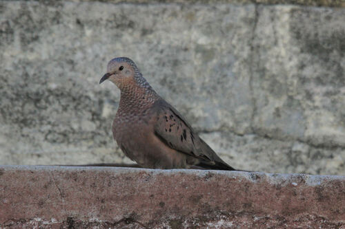 Tourterelle Triste (Mourning Dove)