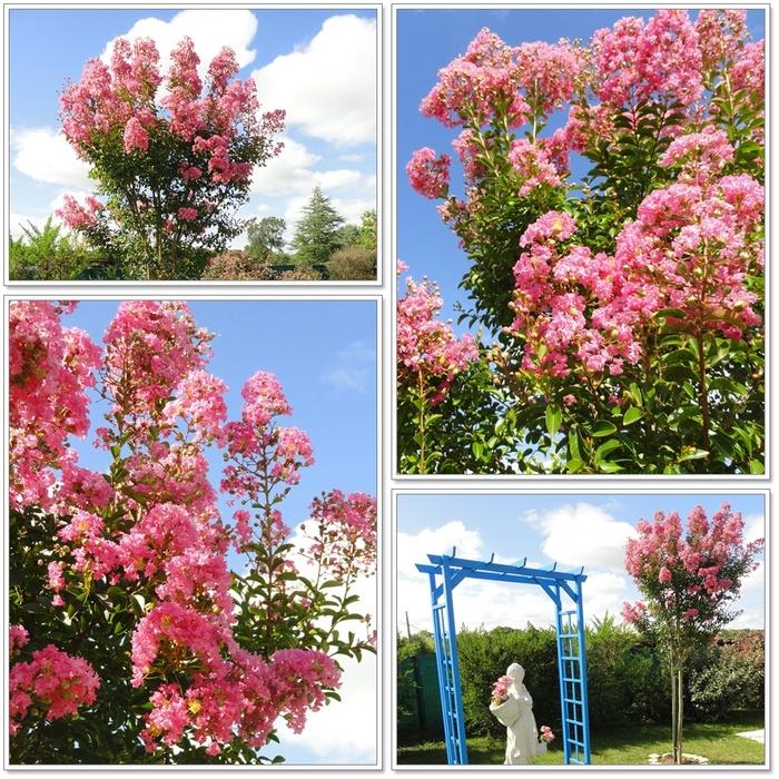 Lilas des Indes fleuris