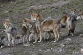 Meute de Loups de Sibérie