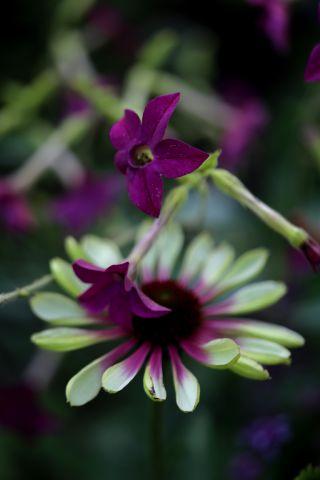 Des compagnes pour mes roses : Echinacea purpurea