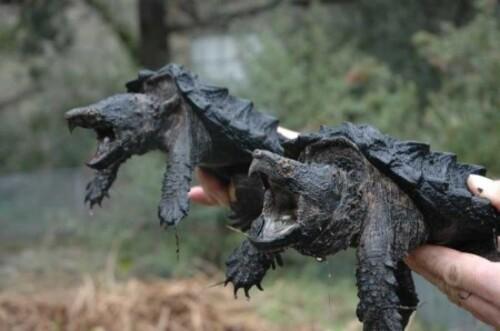 La tortue alligator