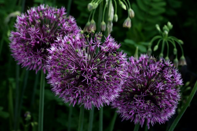 Association : Iris et allium