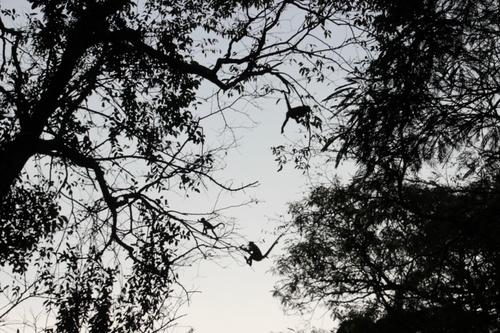 Les singes capucins et les atèles à Tortuguero
