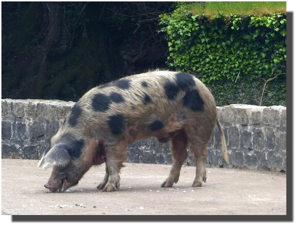 le cochon diplomate