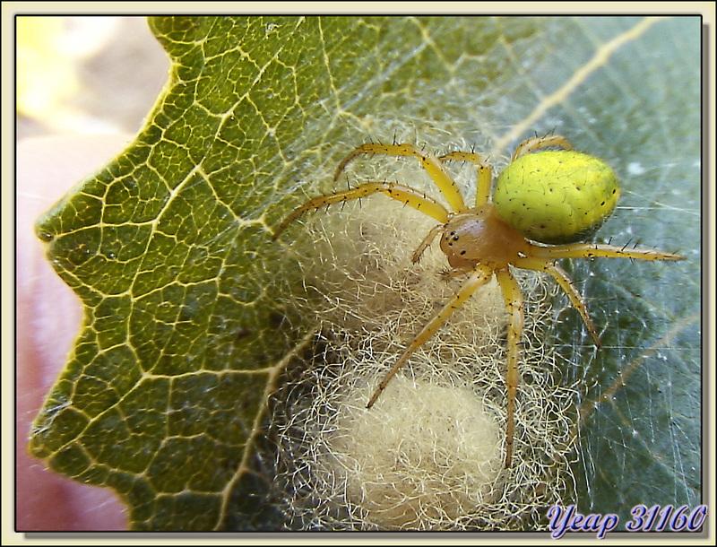 Araignée courge (Araniella cucurbitina) - La Couarde-sur-Mer - Ile de Ré - 17