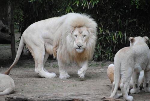 Jabu, le lion blanc, à gauche & Thabana, sa fille, à droite.