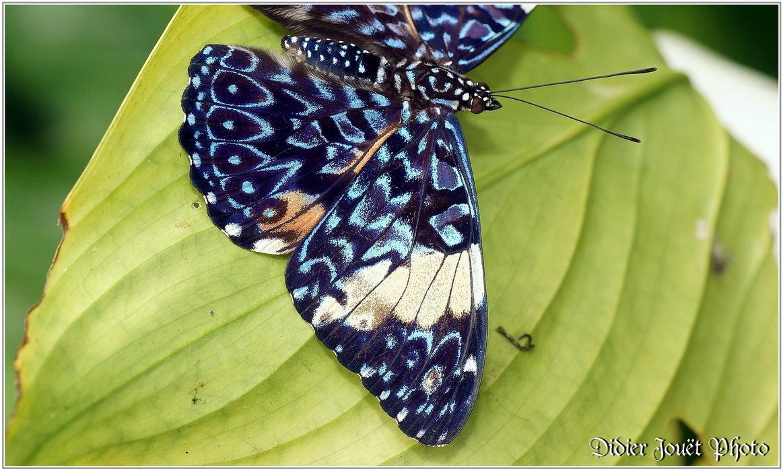 Craqueur Turquoise / Hamadryas arinome