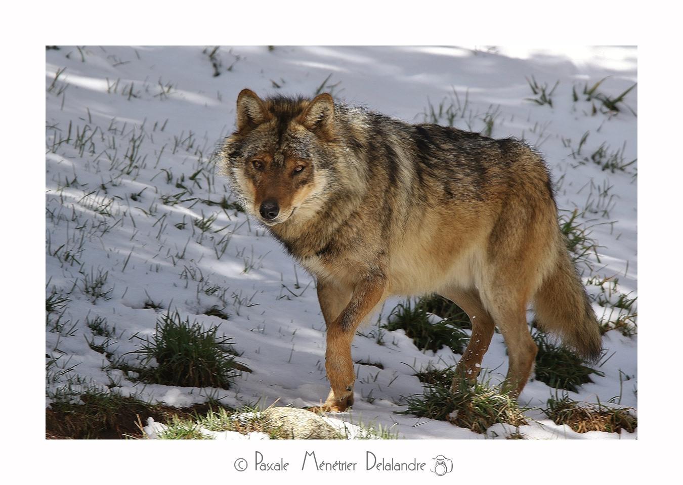 Loup - Son incroyable beauté.