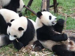 Chengdu et ses pandas