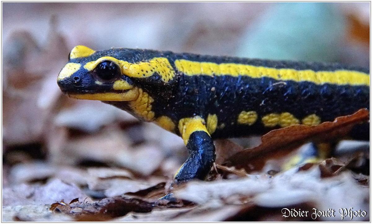 Salamandre Taéchetée (1) - Salamandra salamandra