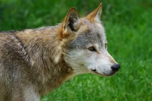 wolf-864792_640