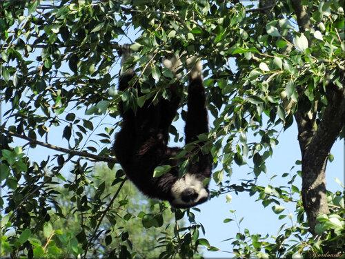 Photo de colobe guéréza (Zoo du bassin d'Arcachon)